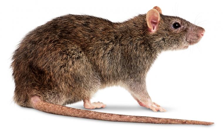 São conhecidas atualmente 236 espécies de ratos. Somente no Brasil são mais de 230 espécies diferentes desses animais. Os ratos vivem aproximadamente dois anos, em colônias bem organizadas, a reprodução desses animais são de forma sexuada, após um período de gestação de 22 dias, as fêmeas geram entre seis a doze filhotes. Três espécies são consideradas pragas urbanas: Rattus Rato, Mus-Muluculus e Norvegicus.